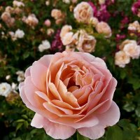 Кремовая роза :: Владимир Бровко