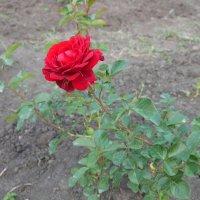Роза на даче. :: Alex 711402