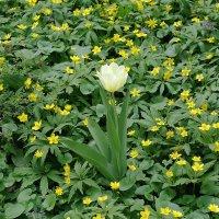 Цветы аптекарского огорода - тюльпаны :: Маргарита Батырева