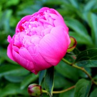 Цветы июня. :: Антонина Гугаева