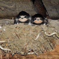 Птенцы ласточек :: OlesiaVS .