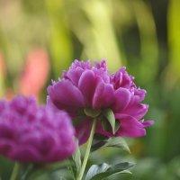 цветы :: Денис Смородин