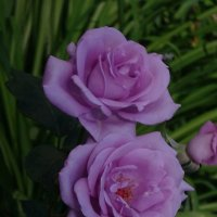 Розы :: Наталья Цыганова