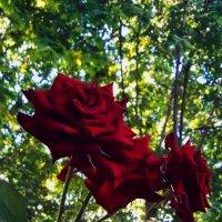 Розы :: Vit