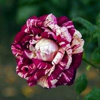 Пестрая роза :: Сергей Фомичев