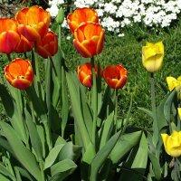 Была весна - цвели тюльпаны :: Милешкин Владимир Алексеевич