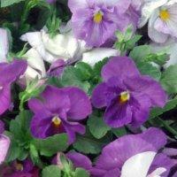 В фиолетовых тонах :: Самохвалова Зинаида
