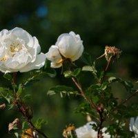 Белый шиповник :: lady v.ekaterina