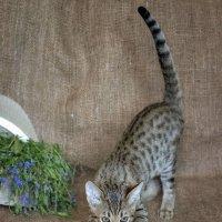котёнок породы саванна :: Анжела Пасечник
