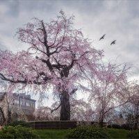 Цветущая сакура в парке Маруяма в Киото :: Shapiro Svetlana