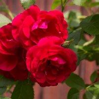 Мои розы. (Июнь) :: Елена Струкова