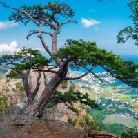 Сосна на горе Ставри-Кая :: Андрей Козлов