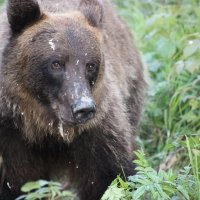 Медведь :: Sergey Kuzmik