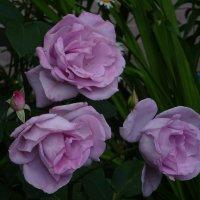 Три розы :: Наталья Цыганова