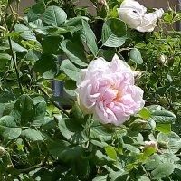 Розовая роза. (Санкт-Петербург). :: Светлана Калмыкова