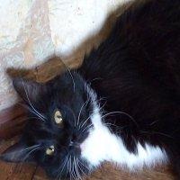 Красавица кошка Глаша. (Санкт-Петербург). :: Светлана Калмыкова