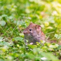 Мышь :: Alex Bush