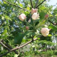 Когда цвели деревья... :: Анна VL