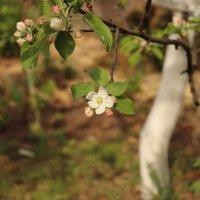 Яблоня в саду. :: Лена Горелова