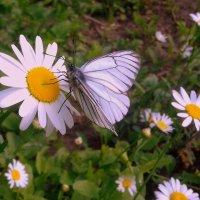 Бабочкины посиделки . :: Мила Бовкун