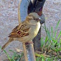 Милая птичка воробей :: Вера Щукина