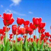 Тюльпаны :: Петр Новоселов