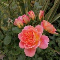 Розовые розы... :: Тамара Бедай