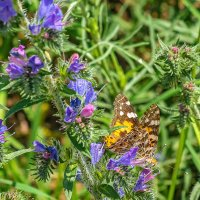 Пир бабочки :: Олег Соболев