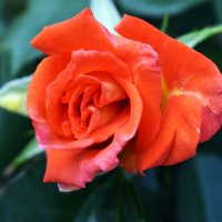 Розы... :: Светлана