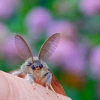 Самец непарного шелкопряда ... ( пеленгует самочку! :) :: Елена Хайдукова  ( Elena Fly )