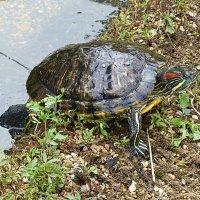 Черепаха :: Лидия Бусурина