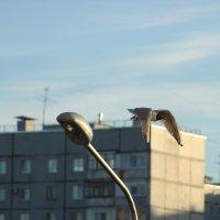 чайка в городе. :: веселов михаил
