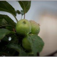 Дождик и яблочки :: Николай Иванович Щенов