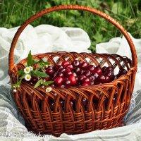Поспели вишни :: Yelena LUCHitskaya
