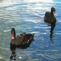Чёрные лебеди :: Лидия Бусурина