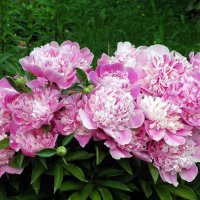 Цветы пиона! :: Генрих