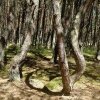 "Куршская коса. ""Танцующий"" лес. :: Зоя Чария"