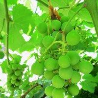 Виноград наливается :: Liliya Kharlamova