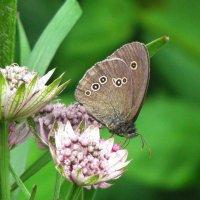 Бабочка Глазок цветочный :: sm-lydmila Смородинская