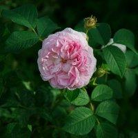 Малая розочка :: lady v.ekaterina