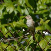серая мухоловка :: linnud