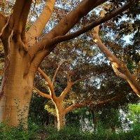Старые деревья2 :: Alexander Amromin
