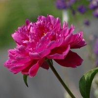 Пион тёмно-розовый :: Зося Каминская
