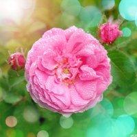 В розовых снах июля.. :: Андрей Заломленков