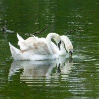 Пара белых лебедей :: Татьяна Лобанова