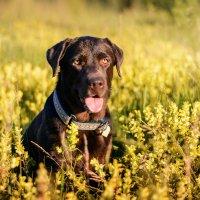 Шоколадная собака :: Елена Маслова