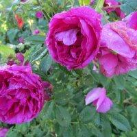Роза плетистая :: Galaelina ***