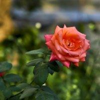 Далёкую розу прекрасной и колючей красоткой я назову ... :: Ольга Винницкая (Olenka)