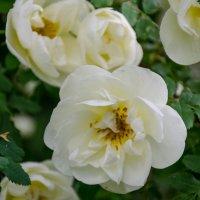 Шиповная роза :: Елена Кордумова