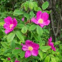 Уж, очень понравилась ветка шиповника, пышно цветет и пахнет, не хуже садовых роз) :: Николай Зиновьев